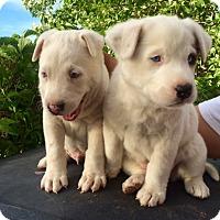 Adopt A Pet :: Lenny & Leah - dewey, AZ