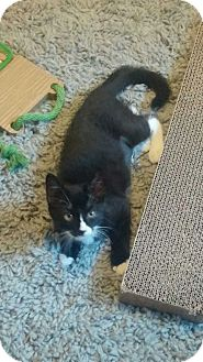 Domestic Shorthair Kitten for adoption in Jackson, New Jersey - Sasha