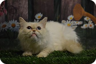 Persian Cat for adoption in Lebanon, Missouri - Butterscotch