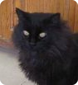 Domestic Longhair Cat for adoption in Silver City, New Mexico - Remus