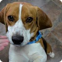 Adopt A Pet :: Hudson - Stafford, VA