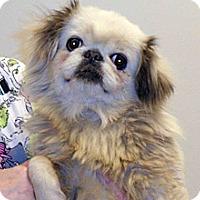 Pekingese Mix Dog for adoption in Wildomar, California - 338578