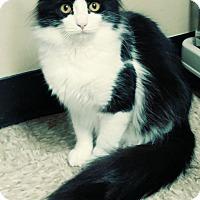 Domestic Mediumhair Cat for adoption in Yorba Linda, California - Callie