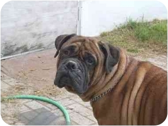 Bullmastiff Dog for adoption in North Port, Florida - Remmington