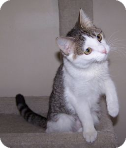 Domestic Shorthair Cat for adoption in Colorado Springs, Colorado - K-Hart11-Allison