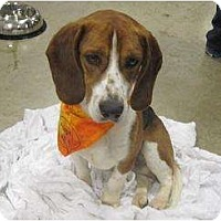 Adopt A Pet :: Socrates - Alexandria, VA