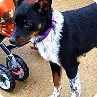 Adopt A Pet :: Macy - Somers, CT