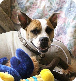 American Pit Bull Terrier/French Bulldog Mix Dog for adoption in Richmond, Virginia - Lucy
