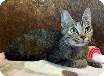 Domestic Shorthair Cat for adoption in Edmond, Oklahoma - Queen Snazzypants