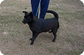 Chow Chow/Labrador Retriever Mix Dog for adoption in Oviedo, Florida - Italy