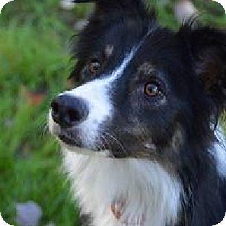 Border Collie Dog for adoption in Charleston, South Carolina - Conway