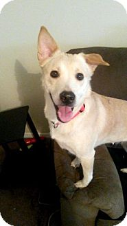 Labrador Retriever/Shepherd (Unknown Type) Mix Dog for adoption in Raleigh, North Carolina - Lily