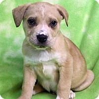 Adopt A Pet :: EDMUND - Westminster, CO