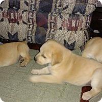 Adopt A Pet :: Golden pups - Pompton Lakes, NJ