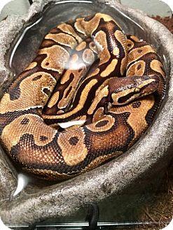 Snake for adoption in Vancouver, Washington - Enchi