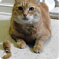 Domestic Shorthair Cat for adoption in Medway, Massachusetts - Frankie