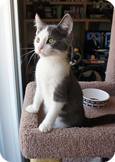 Domestic Shorthair Cat for adoption in Los Angeles, California - Chip-lap cat-video!