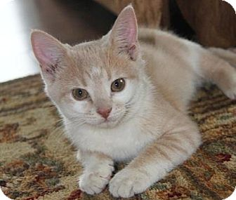Domestic Shorthair Kitten for adoption in Huntsville, Ontario - Claire - Born in July!
