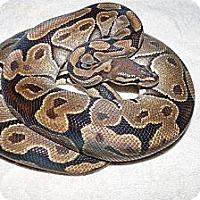 Adopt A Pet :: Celeste - Richmond, BC