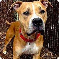 Adopt A Pet :: Simba - Seattle, WA