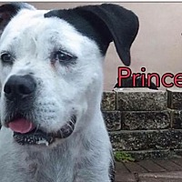 American Bulldog Mix Dog for adoption in Pompano beach, Florida - Callie