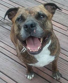 American Pit Bull Terrier/Mastiff Mix Dog for adoption in Fredericksburg, Virginia - Tygress- Courtesy Listing