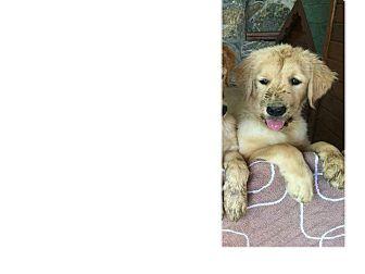 Golden Retriever Puppy for adoption in Washington, D.C. - Alyssa