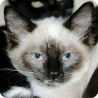 Siamese Kitten for adoption in Port Angeles, Washington - Blue