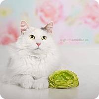 Domestic Mediumhair Cat for adoption in THORNHILL, Ontario - Wanda