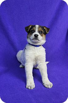Shepherd (Unknown Type)/Blue Heeler Mix Puppy for adoption in Westminster, Colorado - BELLA
