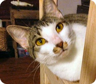 Domestic Mediumhair Cat for adoption in Jacksonville, Florida - Anna