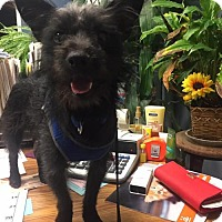 Scottie, Scottish Terrier/Chihuahua Mix Dog for adoption in Great Bend, Kansas - Rigley