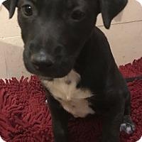 Adopt A Pet :: Talia - Tucson, AZ