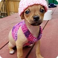 Adopt A Pet :: Shirley Temple (The Little Stars) - Alexandria, VA