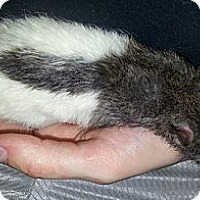 Adopt A Pet :: Agouti Hood to Tail - Lakewood, WA