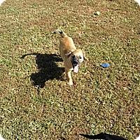 Adopt A Pet :: Alfie - York, SC