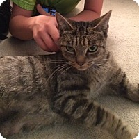 Domestic Shorthair Cat for adoption in Boston, Massachusetts - Lily