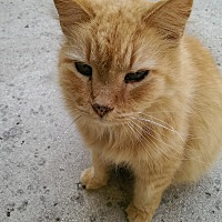 Domestic Longhair Cat for adoption in Naples, Florida - Simba