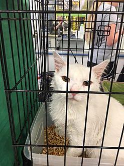 Domestic Mediumhair Cat for adoption in Austin, Texas - Captain Cotton