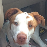 Hound (Unknown Type) Mix Dog for adoption in Crossville, Tennessee - Forrest