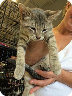 Domestic Shorthair Kitten for adoption in Toledo, Ohio - Maurice