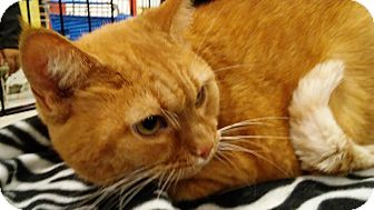 Domestic Shorthair Cat for adoption in Columbus, Ohio - Lucy
