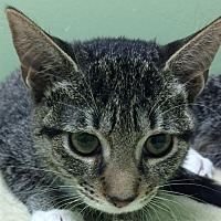 Domestic Shorthair Kitten for adoption in Auburn, California - Demi