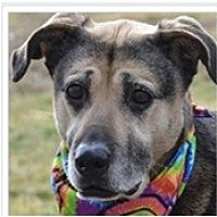Adopt A Pet :: Shep - Tipp City, OH