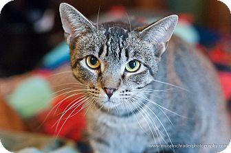 Domestic Shorthair Cat for adoption in Faribault, Minnesota - Yankee
