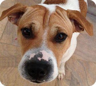 Shar Pei/Beagle Mix Dog for adoption in Barnegat Light, New Jersey - London