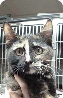 Domestic Shorthair Kitten for adoption in St. Petersburg, Florida - Tallulah