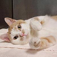 Adopt A Pet :: Smudge - Paris, ME