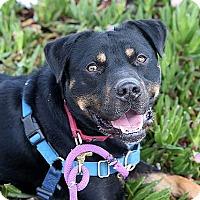 Adopt A Pet :: Taz - Berkeley, CA