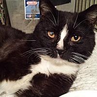 Domestic Shorthair Cat for adoption in Clarkson, Kentucky - Cisco Kid